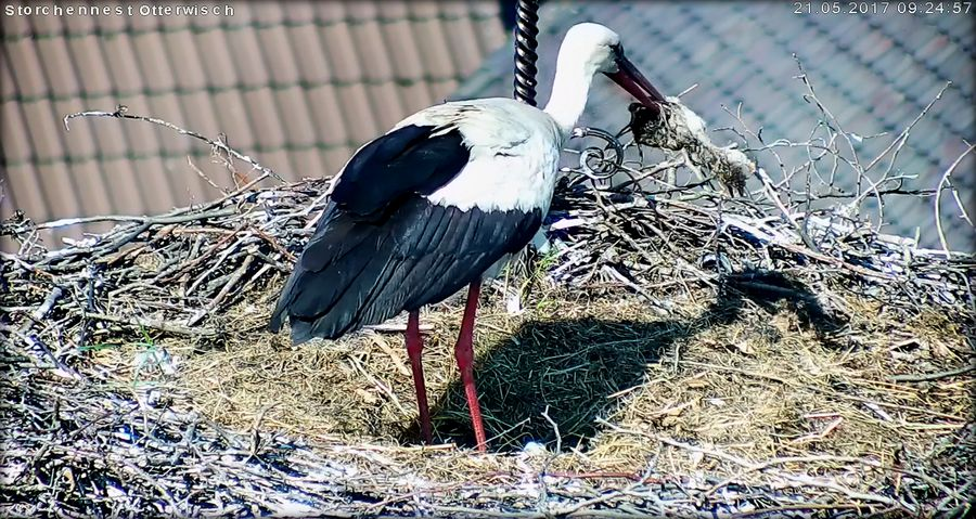 Storch Tode2